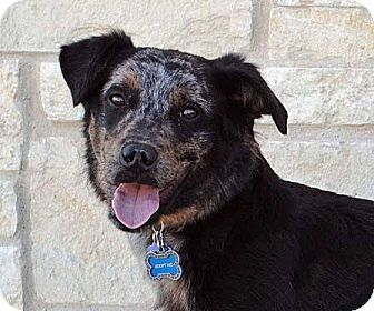 Blue Heeler Mix Dog for adoption in Weatherford, Texas - Tango