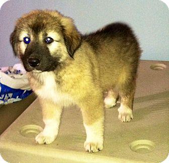 Shepherd (Unknown Type)/Sheltie, Shetland Sheepdog Mix Puppy for adoption in Minneapolis, Minnesota - Ders