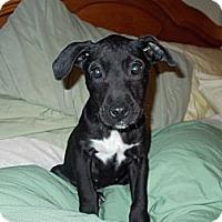 Adopt A Pet :: Scout - Apex, NC