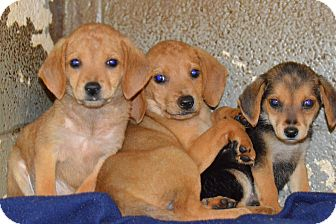 Beagle/Hound (Unknown Type) Mix Puppy for adoption in Henderson, North Carolina - Bubbles, Blossom & Buttercup