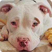 Adopt A Pet :: Junie - Reisterstown, MD