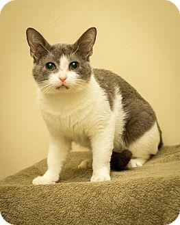 Exotic Cat for adoption in Bellingham, Washington - Milton