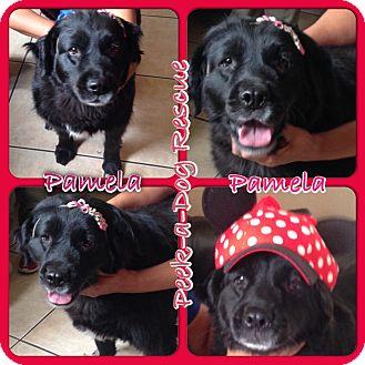 Golden Retriever Mix Dog for adoption in South Gate, California - Pamela