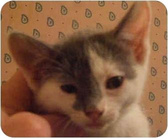 Domestic Shorthair Kitten for adoption in Tracy, California - Leo