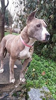 Pit Bull Terrier Dog for adoption in Chattanooga, Tennessee - Breezy