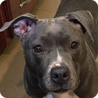 Pit Bull Terrier Dog for adoption in Russellville, Kentucky - Polly Pocket