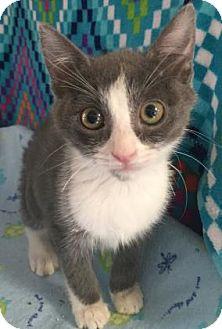Domestic Shorthair Kitten for adoption in Fountain Hills, Arizona - FIZZY