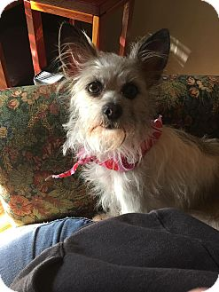 Terrier (Unknown Type, Small) Mix Dog for adoption in Middletown, Rhode Island - Josie
