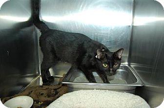 Domestic Shorthair Cat for adoption in Bradenton, Florida - Carol