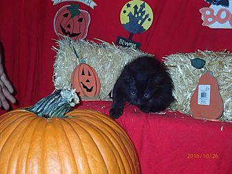 Domestic Longhair Kitten for adoption in Lancaster, California - Buckwheat