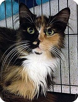 Domestic Longhair Cat for adoption in Huntley, Illinois - Amethyst