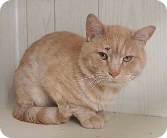 Domestic Shorthair Cat for adoption in THORNHILL, Ontario - Rick