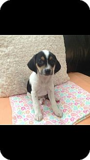 Terrier (Unknown Type, Small)/Beagle Mix Puppy for adoption in Lima, Pennsylvania - Raspberry