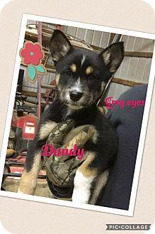Australian Shepherd/Belgian Malinois Mix Puppy for adoption in Brunswick, Maine - Dandy