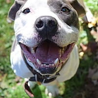 American Pit Bull Terrier Mix Dog for adoption in Ozone Park, New York - Kane