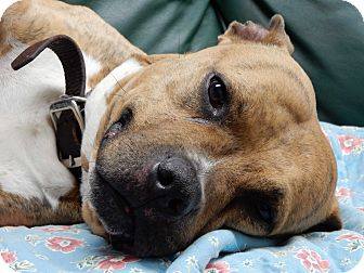 American Staffordshire Terrier Mix Dog for adoption in Long Beach, New York - Cash