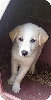 Golden Retriever/Husky Mix Puppy for adoption in Ashville, Ohio - Sampson