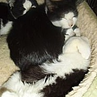 Domestic Shorthair Cat for adoption in Bear, Delaware - The Village Boys Triplets
