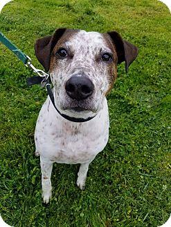 Pointer/Labrador Retriever Mix Dog for adoption in Grants Pass, Oregon - Toby