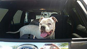 American Bulldog Mix Dog for adoption in Beverly Hills, California - Janie