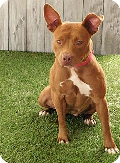 American Staffordshire Terrier Mix Dog for adoption in Lake Panasoffkee, Florida - Layla
