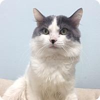 Adopt A Pet :: Thomas O'Malley - Chicago, IL