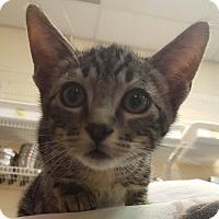 Adopt A Pet :: Bellagio - Hawk Point, MO