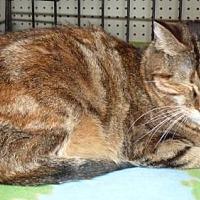 Calico Cat for adoption in Logan, Utah - Amidala