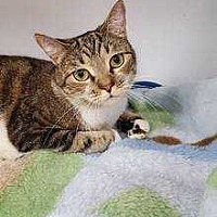 Domestic Shorthair Cat for adoption in Youngsville, North Carolina - Grace