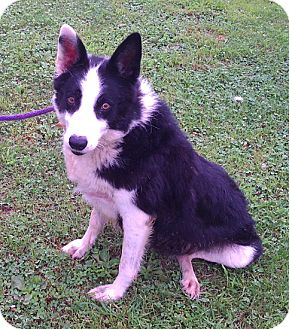 Border Collie Mix Dog for adoption in Metamora, Indiana - Stormy