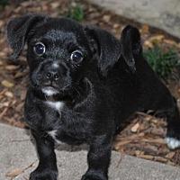 Adopt A Pet :: Finn - North Richland Hills, TX