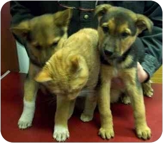 German Shepherd Dog/Husky Mix Puppy for adoption in Tahlequah, Oklahoma - Sundance