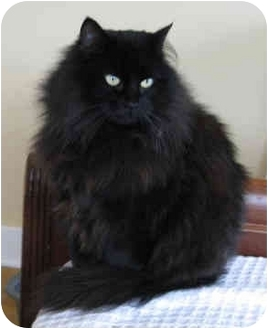 Domestic Longhair Cat for adoption in Seattle c/o Kingston 98346/ Washington State, Washington - Midnight