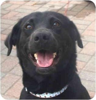 Labrador Retriever Dog for adoption in Kokomo, Indiana - Sarah