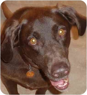 Labrador Retriever Mix Dog for adoption in Evergreen, Colorado - Dutch