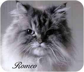 Himalayan Cat for adoption in Blackstone, Virginia - Romeo