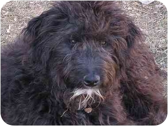 Golden Retriever/Poodle (Standard) Mix Puppy for adoption in Evergreen, Colorado - Cosby