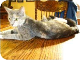 Calico Cat for adoption in Paintsville, Kentucky - Callie