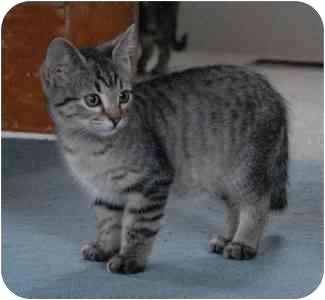 Domestic Shorthair Kitten for adoption in Portland, Oregon - Ellie Mae