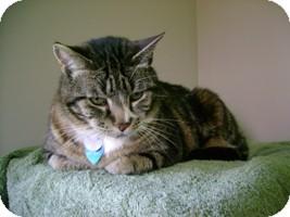 Domestic Shorthair Cat for adoption in Creston, British Columbia - Kitkat