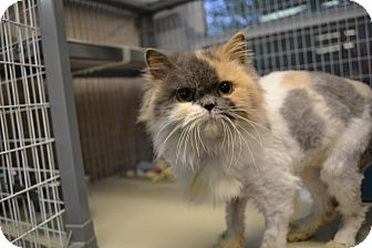 Persian Cat for adoption in Edwardsville, Illinois - New Jersey