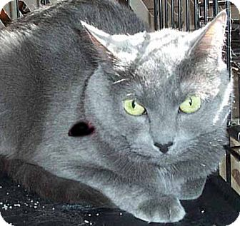 Russian Blue Cat for adoption in Randolph, New Jersey - Gideon