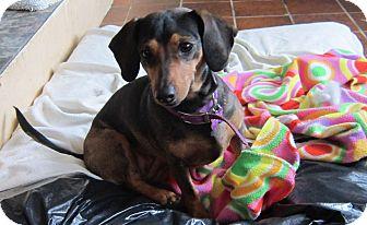 Dachshund Mix Dog for adoption in Salem, Oregon - Cocoa