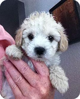 Maltese/Poodle (Miniature) Mix Puppy for adoption in Nuevo, California - Jasmine