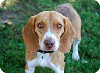 Beagle Mix Dog for adoption in Salem, New Hampshire - BUDDY BEAGLE**