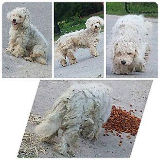 Bichon Frise/Poodle (Miniature) Mix Dog for adoption in Woonsocket, Rhode Island - Farlowe