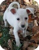 Miniature Schnauzer/Chihuahua Mix Puppy for adoption in Brattleboro, Vermont - Grace