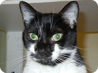 Domestic Shorthair Cat for adoption in Miami, Florida - Samantha