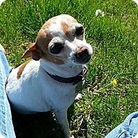 Adopt A Pet :: Sundae - therapy dog - Denver, CO