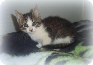 Domestic Shorthair Cat for adoption in Medford, Wisconsin - TURBO